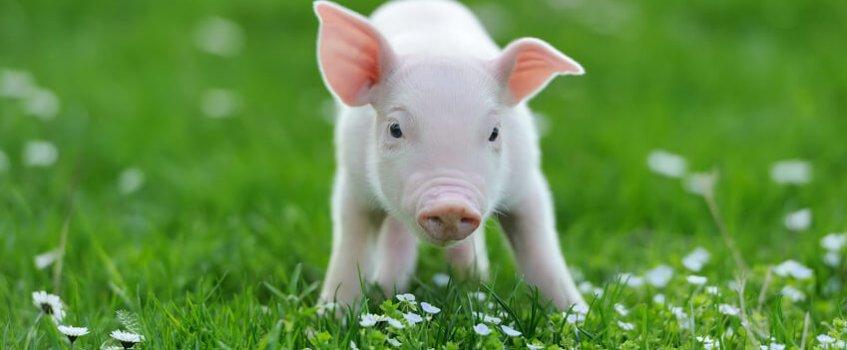 Kleines Schweinderl im Gras